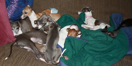 Red, Blue, Black, &  Pied italian greyhounds